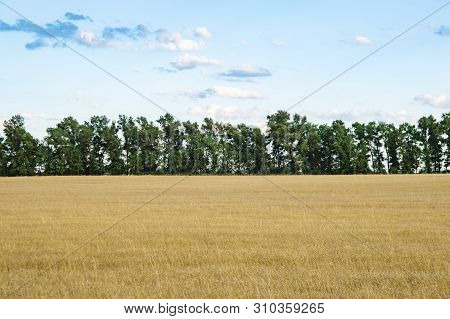 Field Of Wheat Against The Blue Sky With Clouds. Natural Landscape.