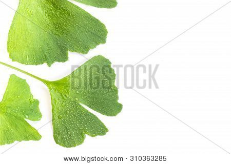Green Leaves Of Ginkgo Biloba Plant Isolated On White Background. Medicinal Leaves Of The Relic Tree