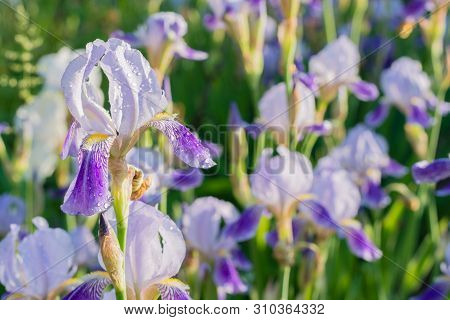 Purple Iris With Water Drops - Close Up Image With A Flower