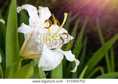 The Flower Of A White Lily Growing In A Summer Garden.
