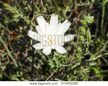 Close Up Of A White Chicory Flower Near Ajo, Az