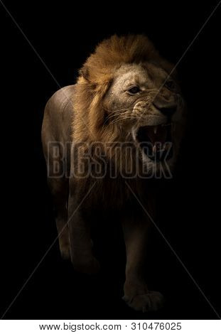 Male Lion Walking In Dark Background