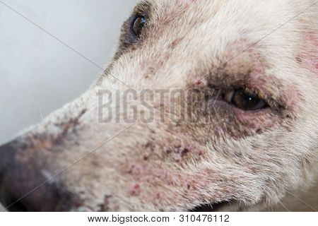 Pustules And Dermatitis In Dog, Dog Belly And Reproductive Organs , Zoom Macro.
