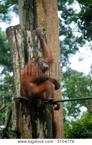 Orang-Utan In Sepilok National Forest, Sabah, Borneo