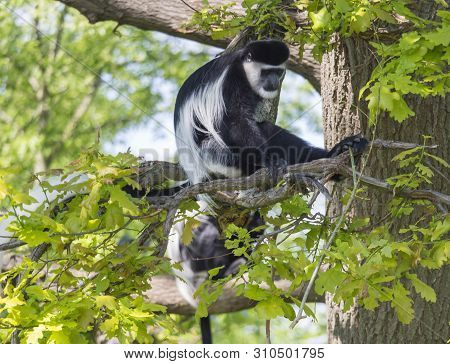 Young Mantled Guereza Monkey Also Named Colobus Guereza Sitting On Tree Branch, Natural Sunlight, Co