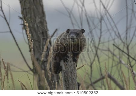 The Groundhog (marmota Monax), Also Known As A Woodchuck On Broken Tree