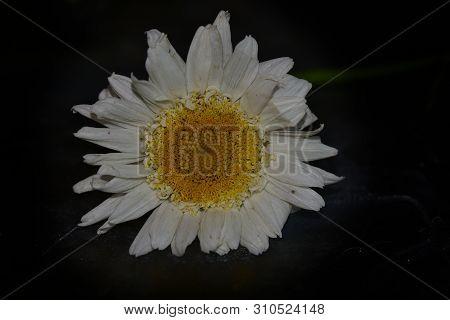 Very Pretty Margarite Flower In My Garden