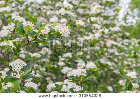 Blooms Bush Black Chokeberry In Early Summer White Flowers