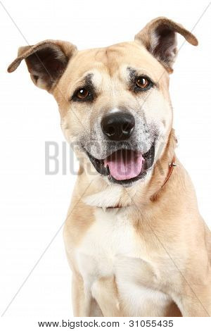Staffordshire Terrier Dog On A White Background