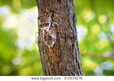 Insect Cicadidae Family Of Cicadas. Cicadoidea Insect. Eukaryota Animalia Arthropoda Tracheata Hexap