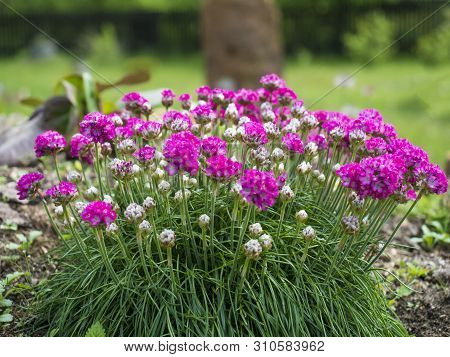 Close Up Bunch Of Pink Blooming Armeria Maritima, Commonly Known As Thrift, Sea Thrift Or Sea Pink,