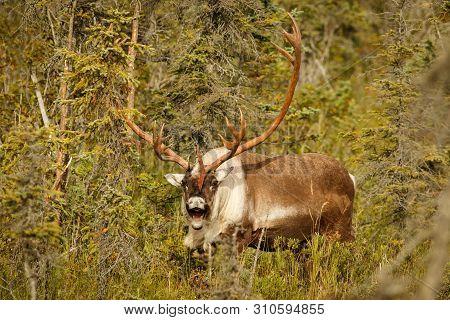 Caribou In Town Of Kenai In Kenai Peninsula In Alaska