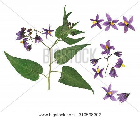 Pressed And Dried Delicate Violet Flower Bittersweet Nightshade (solanum Dulcamara) On Stem With Gre