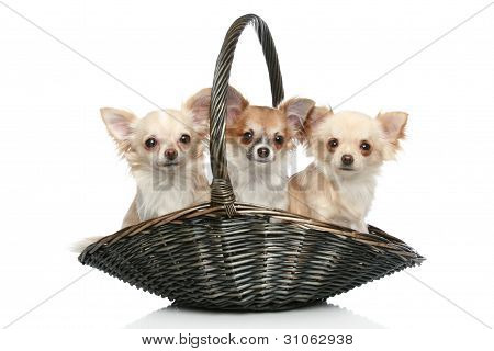 Long coat chihuahua in wattled basket on a white background poster