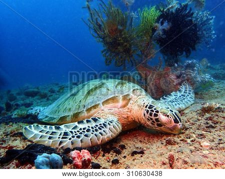Hawksbill Turtle Sleeping On The Earth Floor Underwater During A Leisure Dive In Mabul Island, Sempo