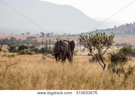 African Bush Elephant In Pilanesberg National Park