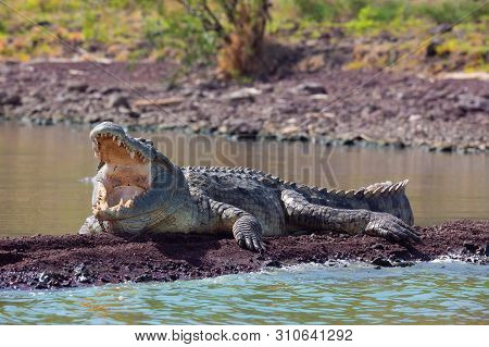 Big Nile Crocodile With Opened Mouth. Crocodylus Niloticus, Largest Fresh Water Crocodile In Africa,