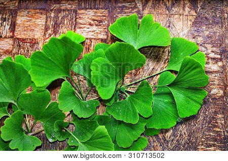 Branches And Leaves Of A Ginkgo.