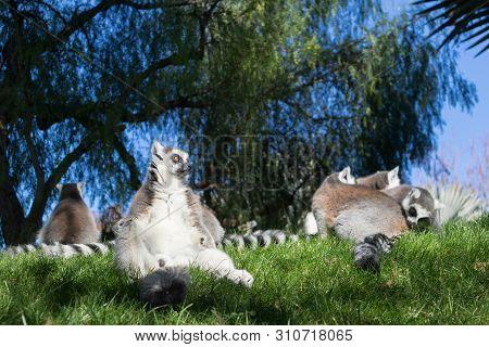 Family Of Lemurs Sunbathing On The Grass. The Ring Tailed Lemur, Lemur Catta, Is A Large Strepsirrhi