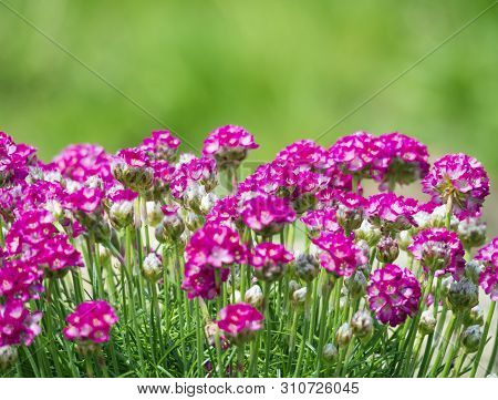 Close Up Macro Of Bunch Of Pink Blooming Armeria Maritima, Commonly Known As Thrift, Sea Thrift Or S