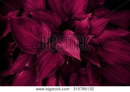Leaves Of A Tropical Plant In The Forest. Ecology, Wild Life And Gardening. Photo In Pink Color, Mac