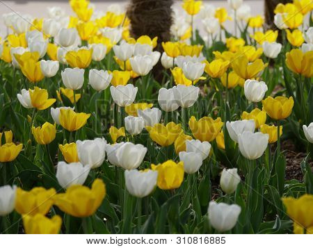 Beautiful Profusion Of Yellow And White Tulips In Bloom