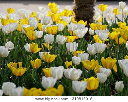 Profusion Of Yellow And White Tulips In Bloom