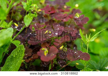 Natural Background - Red Leaves Of Woodsorrel Among Other Variety Of Grassy Vegetation During The Ra