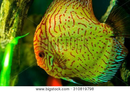 Close up of the face of a blue discus fish, popular tropical aquarium pet in aquaculture, tropical fish specie from the amazon basin poster
