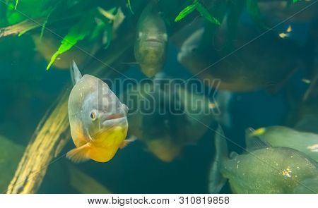 Closeup Of A Red Bellied Piranha With A School Of Piranhas In The Background, Tropical Fish Specie F