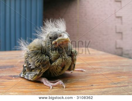 nestling sparrow drop out jack table bird young small animal feather human beak lost life new newborn cute wing around s nest loss animals walking hatchling freedom one fluffy protection house assistance worried danger image wild hole rescue little surfac poster