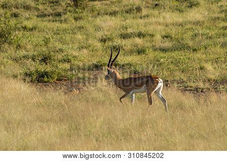 Young Female Antelope In The Savannah Of Samburu Park In Central Kenya ,samburu National Reserve, Ke