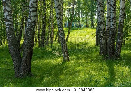 Backlight In A Birch Grove On A Summer Day.