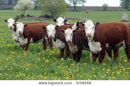 Hereford Herd