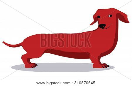 Sly Red Dachshund On A White Background. Vector Image