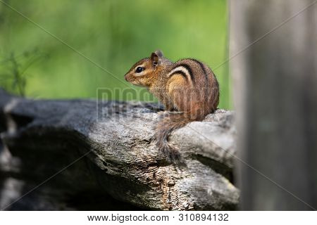 Mammals Rodents Small Eastern Chipmunk Resting Wooden Fence