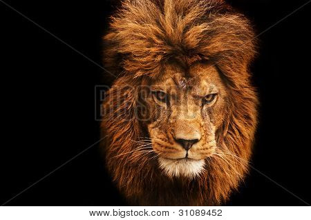 Stunning Facial Portrait Of Male Lion On Black Background