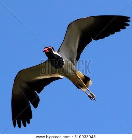 Asian Red-wattled Lapwing Bird In Air Fling