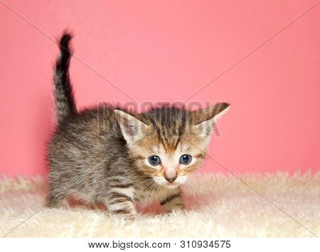 Adorable Tiny Kitten Few Weeks Old Standing On Sheepskin Blanket Looking At Viewer, Tail Kinked Up I
