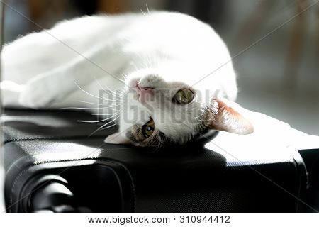 Adorable White Domestic Cat Lay Down With Cute Face On Travel Carry On Baggage Before Travel Day Usi