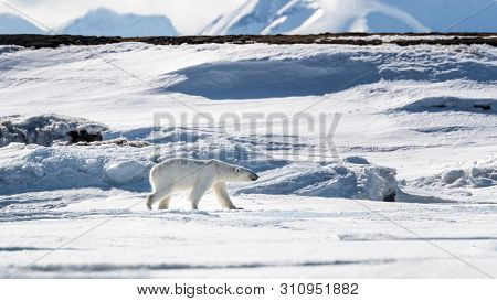 Young adult female polar bear walks across the snow and ice of Svalbard, a Norwegian archipelago between mainland Norway and the North Pole.