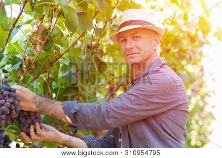 Winegrower Man In Straw Hat Picking Ripe Grapes In Vine Row. Traditional Winery Ecological Farm And