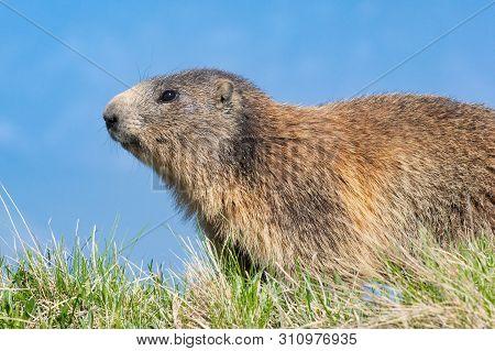 The Alpine Marmot (marmota Marmota)  In Its Natural Habitat. Dolomites Italy