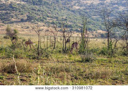 Impala Antelope , In Pilanesberg National Park Nature Reserve
