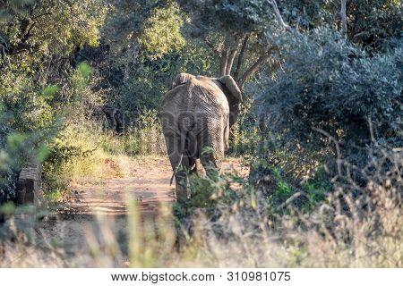 African Elephant Walking Down A Dirt Road, Pilanesberg National Park