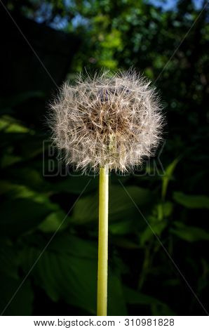 Beautiful Seeding Dandelion Flower With Dark Moody Lighting