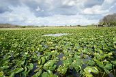 Vegetation grows in the swamp of the tropical Florida Everglades poster
