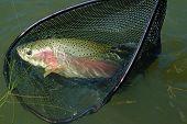 Beautiful below Magic rainbow trout in a net poster