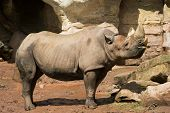 Standing adult Rhinoceros in Zoo. Sunny summer day. Clipping path for rhino included. poster