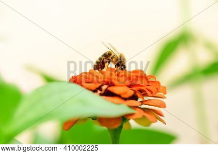 Bee And Flower. Close Up Of A  Striped Bee Collecting Pollen On A Orange Flower On A Sunny Bright Da